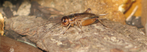the common house cricket