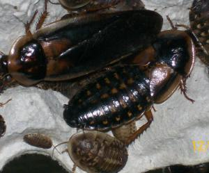 male female, and nymphs - Blaptica dubia